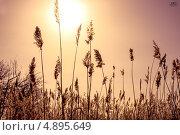 Камыш на закате солнца. Стоковое фото, фотограф Владислав Серкин / Фотобанк Лори