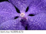 Орхидея Ванда фиолетовая крупным планом. Стоковое фото, фотограф Смирнова Маргарита / Фотобанк Лори