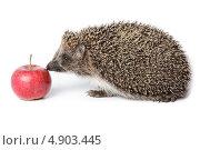 Купить «Ёж обыкновенный, Erinaceus europaeus, western European Hedgehog», фото № 4903445, снято 25 августа 2011 г. (c) Василий Вишневский / Фотобанк Лори