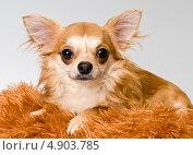 Купить «Собака породы чихуахуа», фото № 4903785, снято 14 ноября 2011 г. (c) Vladimir Suponev / Фотобанк Лори