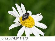 Купить «Бронзовка вонючая (Oxythyrea funesta) на цветке ромашки», эксклюзивное фото № 4911173, снято 14 июня 2013 г. (c) Елена Коромыслова / Фотобанк Лори