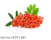 Купить «Гроздь рябины с красными ягодами», фото № 4911261, снято 3 августа 2012 г. (c) Ласточкин Евгений / Фотобанк Лори