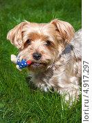 Йоркширский терьер с игрушкой на зеленой траве. Стоковое фото, фотограф Вероника Конкина / Фотобанк Лори
