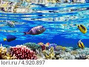 Купить «Кораллы и рыбы в Красном море. Египет, Африка», фото № 4920897, снято 6 сентября 2012 г. (c) Vitas / Фотобанк Лори