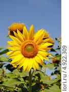 Купить «Желтый подсолнух на фоне голубого неба», фото № 4922309, снято 29 июля 2013 г. (c) Александр Хорхордин / Фотобанк Лори