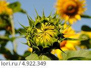 Купить «Бутон подсолнуха (Sunflower)», фото № 4922349, снято 29 июля 2013 г. (c) Александр Хорхордин / Фотобанк Лори