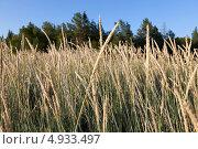 Овсяница (Festuca arundinacea) Стоковое фото, фотограф Александр Новиков / Фотобанк Лори