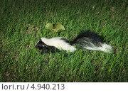 Купить «Полосатый скунс гуляет по по траве», фото № 4940213, снято 7 августа 2013 г. (c) Ирина Кожемякина / Фотобанк Лори