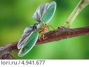 Купить «Цикадка зелёная (Cicadella viridis)», фото № 4941677, снято 27 июля 2013 г. (c) Забалуев Игорь Анатолич / Фотобанк Лори