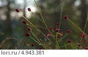 Кровохлебка лекарственная (Sanguisorba Officinalis) Стоковое видео, видеограф Евгений / Фотобанк Лори