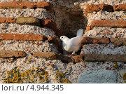 Белый голубь в нише каменной стены. Стоковое фото, фотограф Искрен Петров / Фотобанк Лори