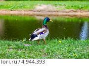 Утка у озера в парке. Стоковое фото, фотограф Вероника Конкина / Фотобанк Лори