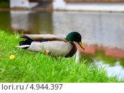 Утка идет к озеру в парке (2013 год). Стоковое фото, фотограф Вероника Конкина / Фотобанк Лори