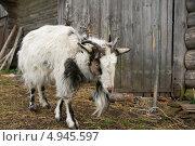 Купить «Коза наклонила голову», эксклюзивное фото № 4945597, снято 10 мая 2013 г. (c) Dmitry29 / Фотобанк Лори