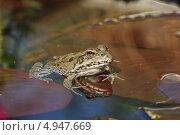 Купить «Лягушка сидит на листе кувшинки в пруду, отражаясь в зеркале воды», фото № 4947669, снято 25 августа 2012 г. (c) Наталья Гармашева / Фотобанк Лори
