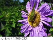 Зелёный кузнечик на цветке. Стоковое фото, фотограф Искрен Петров / Фотобанк Лори