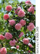 Купить «Розовые розы», фото № 4968349, снято 12 мая 2013 г. (c) Stockphoto / Фотобанк Лори