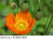 Мак оранжевый на зеленом фоне. Стоковое фото, фотограф Елена Бачурина / Фотобанк Лори