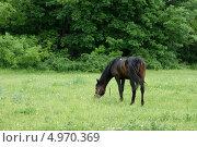 Пасущаяся лошадь. Стоковое фото, фотограф Ирина Васильева / Фотобанк Лори