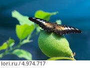 Тигровая бабочка на зелёном лимоне. Стоковое фото, фотограф Юлия Соловьёва / Фотобанк Лори