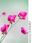 Купить «Розовые цветы душистого горошка (Lathyrus odoratus) на размытом фоне», фото № 4974857, снято 11 августа 2013 г. (c) EugeneSergeev / Фотобанк Лори