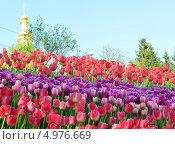Клумба с красными тюльпанами. Стоковое фото, фотограф Наталия Тихонова / Фотобанк Лори