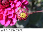 Купить «Бутон георгины на фоне крупного соцветия», эксклюзивное фото № 4977069, снято 14 июля 2013 г. (c) Ната Антонова / Фотобанк Лори