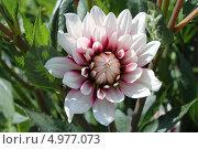 Купить «Соцветие георгины», эксклюзивное фото № 4977073, снято 14 июля 2013 г. (c) Ната Антонова / Фотобанк Лори