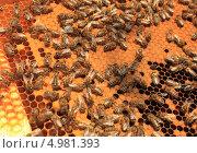 Рамка с пчелами и расплодом. Стоковое фото, фотограф Денис Кошель / Фотобанк Лори