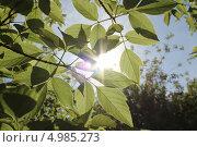 Солнце сквозь листья. Стоковое фото, фотограф Белоглазова Елена / Фотобанк Лори