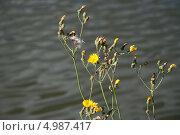 Купить «Осот Огородный (Sonchus oleraceus)», эксклюзивное фото № 4987417, снято 16 августа 2013 г. (c) Алёшина Оксана / Фотобанк Лори