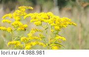 Купить «Пчелы на золотарнике канадском (Solidago canadensis)», эксклюзивный видеоролик № 4988981, снято 23 июля 2013 г. (c) Алёшина Оксана / Фотобанк Лори