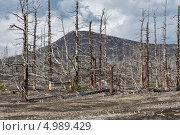 Купить «Мертвый лес, Большое трещинное Толбачинское извержение. Камчатка», фото № 4989429, снято 27 июля 2013 г. (c) А. А. Пирагис / Фотобанк Лори