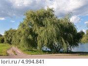 Купить «Ива белая (Salix alba) на берегу», эксклюзивное фото № 4994841, снято 16 августа 2013 г. (c) Алёшина Оксана / Фотобанк Лори