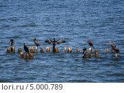 Большие бакланы отдыхают на торчащих из воды сваях. Стоковое фото, фотограф Екатерина Радомская / Фотобанк Лори
