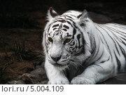 Белый тигр в московском зоопарке. Стоковое фото, фотограф Джесур Кючюк / Фотобанк Лори