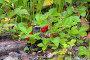 Спелая дикая земляника в летнем лесу на Северном Урале, фото № 5015349, снято 10 июля 2013 г. (c) Михаил Марковский / Фотобанк Лори