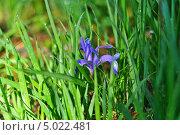 Кукушкины слезки в траве (Ирис лесной) Стоковое фото, фотограф Koshman Anastasiya / Фотобанк Лори