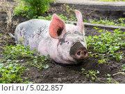 Купить «Свинья живущая на ферме», фото № 5022857, снято 23 августа 2013 г. (c) Peredniankina / Фотобанк Лори