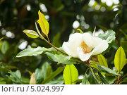 Купить «Белый цветок  магнолии крупноцветковой. Magnolia Grandiflora», фото № 5024997, снято 24 июня 2013 г. (c) Яков Филимонов / Фотобанк Лори