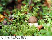 Купить «Маленький подберёзовик растёт среди мха и брусничных листьев», эксклюзивное фото № 5025885, снято 2 сентября 2013 г. (c) Dmitry29 / Фотобанк Лори