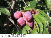 Слива домашняя. Зрелые плоды на ветви. Стоковое фото, фотограф Роман Петрушин / Фотобанк Лори