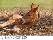 Новорожденный жеребенок. Стоковое фото, фотограф Svetlana Mihailova / Фотобанк Лори
