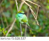 Малая зеленая щурка. Стоковое фото, фотограф Надежда Зверева / Фотобанк Лори