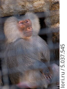 Взрослый бабуин за решеткой в зоопарке с задумчивым грустным выражением лица и сложенными руками. Стоковое фото, фотограф Юрий Игнатьев / Фотобанк Лори