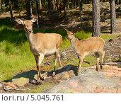 Купить «Благородный олень (лат. Cervus elaphus). Два пугливых оленя», фото № 5045761, снято 24 июля 2013 г. (c) Валерия Попова / Фотобанк Лори