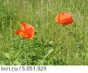 Маки в траве. Стоковое фото, фотограф Константин Левада / Фотобанк Лори