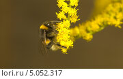Шмель на цветке. Стоковое фото, фотограф Семин Илья / Фотобанк Лори