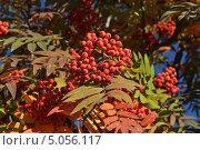 Грозди красной рябины на ветках. Стоковое фото, фотограф Алексей Леонтьев / Фотобанк Лори