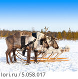 Купить «Северные олени в упряжке», фото № 5058017, снято 25 февраля 2012 г. (c) Владимир Мельников / Фотобанк Лори